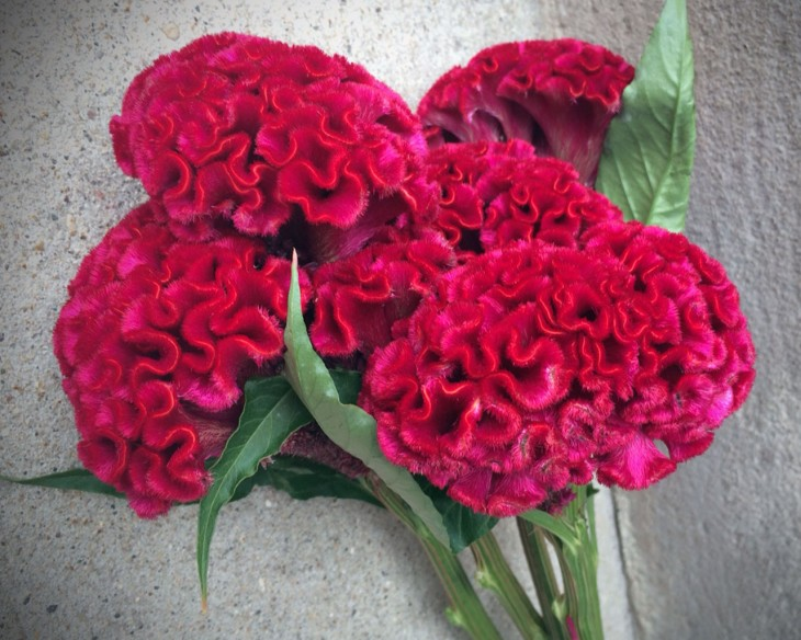 """Varieties of celosia, or cockscomb flowers, are known as """"brain"""" or """"feather"""" celosia for their likeness to each."""