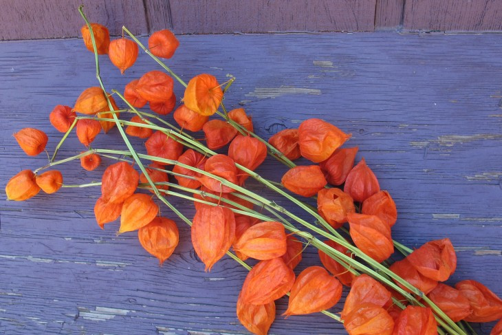 Chinese-lantern-flowers-are-a-striking-fall-bloom