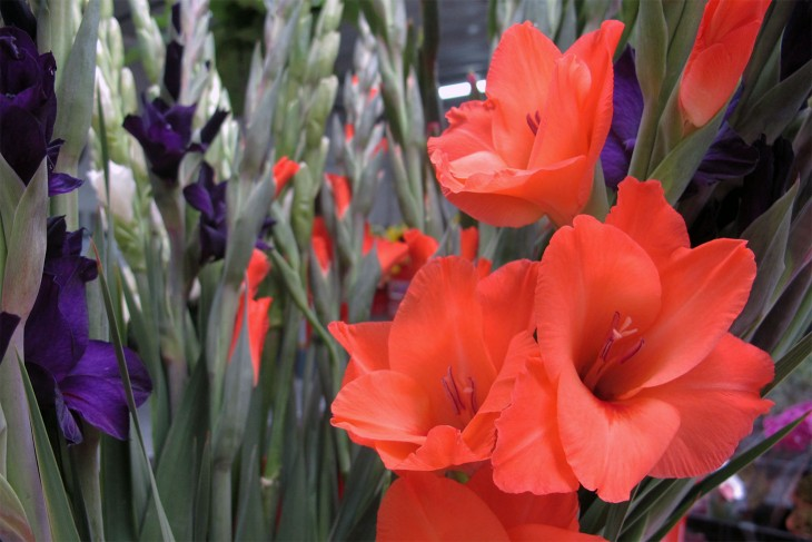 Gladiolus3