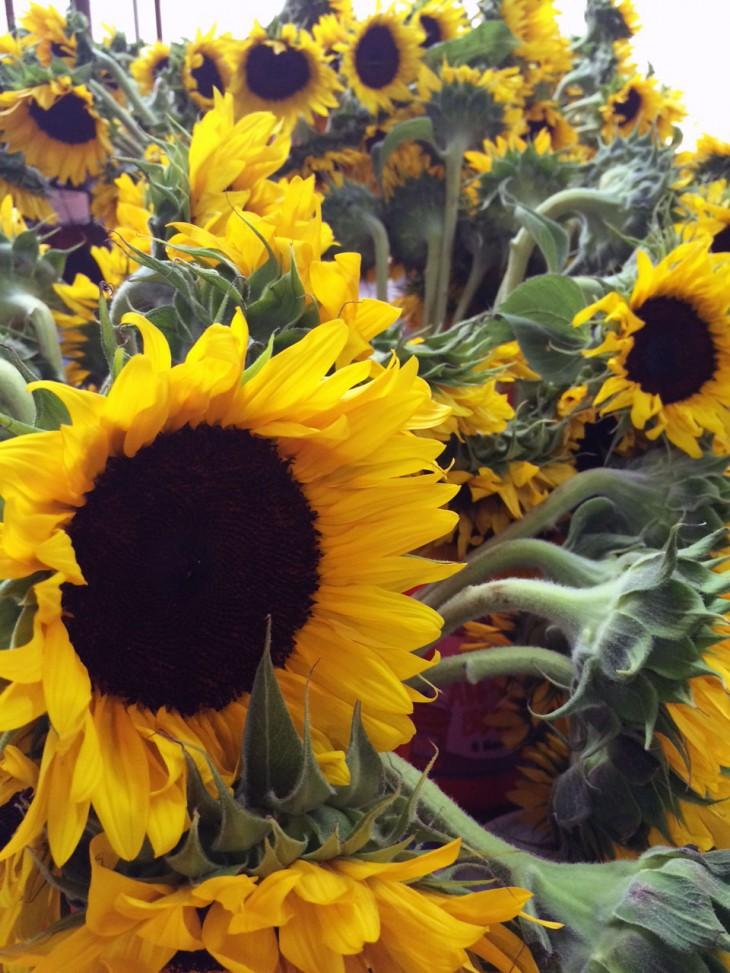 Sunflowern2