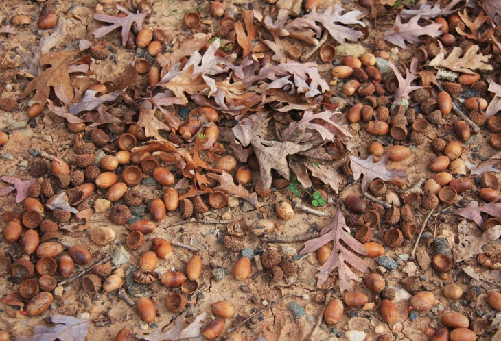 Acorns are a free source of decor for your fall table.