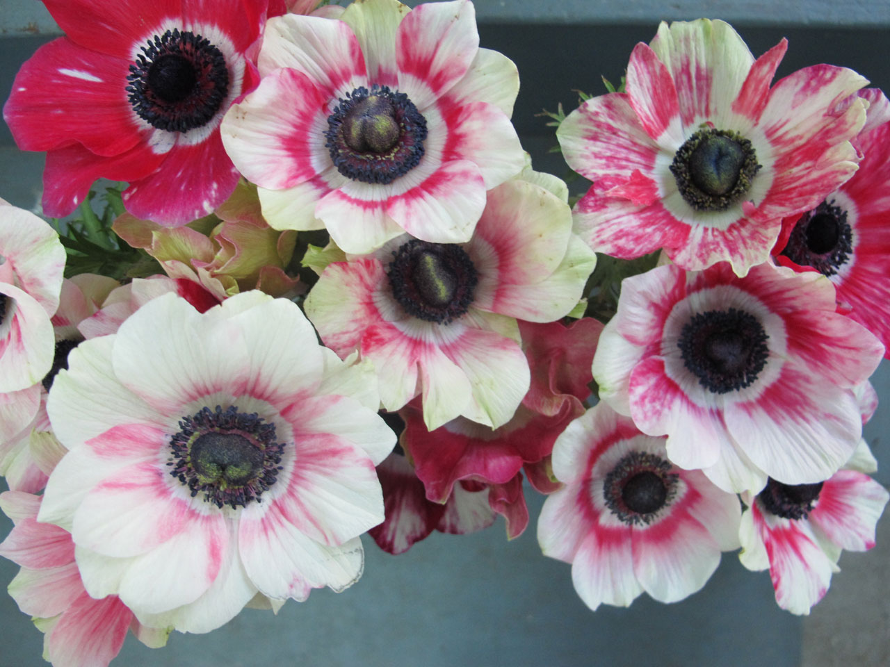 Gorgeous anemones in the HMR Designs Studio