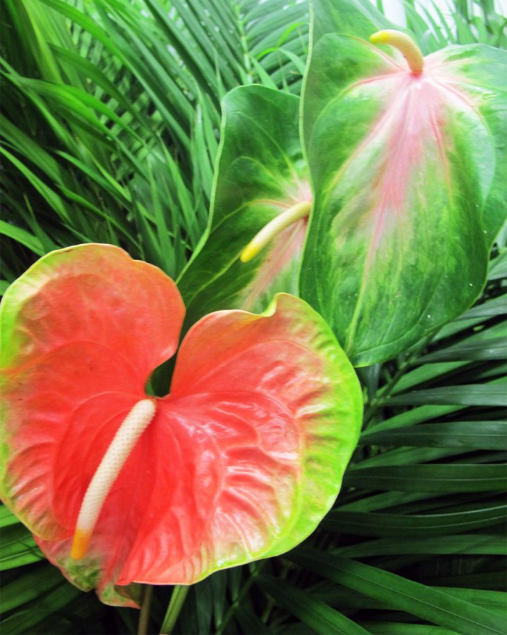 anthurium-flowers-for-father'd-day-gifts