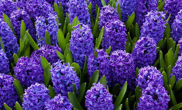 blue-hyacinths-mother's-day-flowers