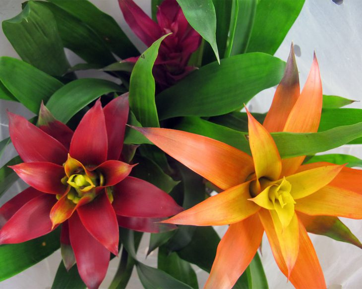 bromeliad-plants-for-father's-day