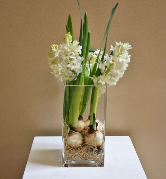 Hyacinth bulbs to brighten winter HMR Designs