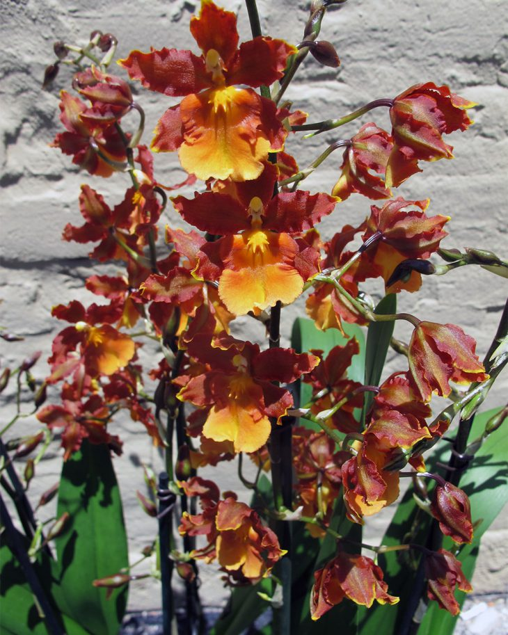 catante-orchids-for-father's-day-gifts
