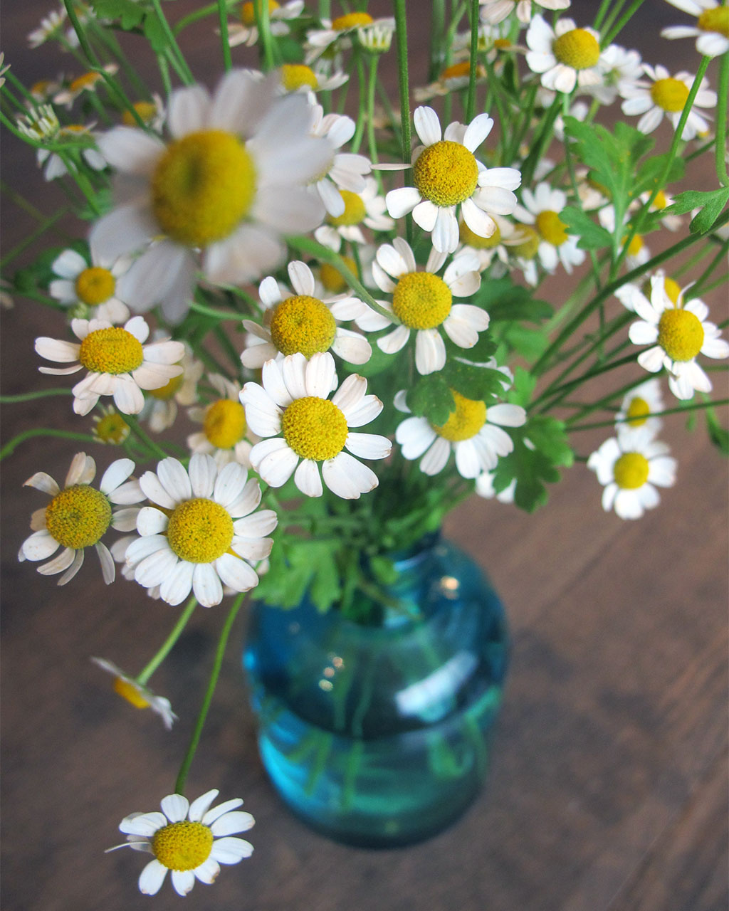 chamomile flowers at HMR Designs