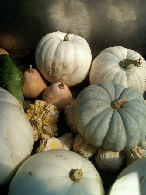 Grey area: grey and ivory pumpkins also occur in nature.