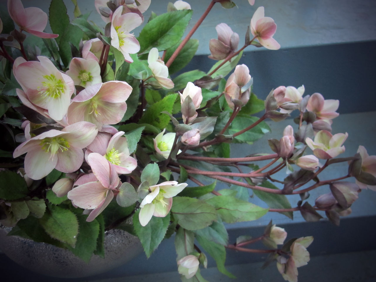 Helleborus flowers in the HMR Designs studio