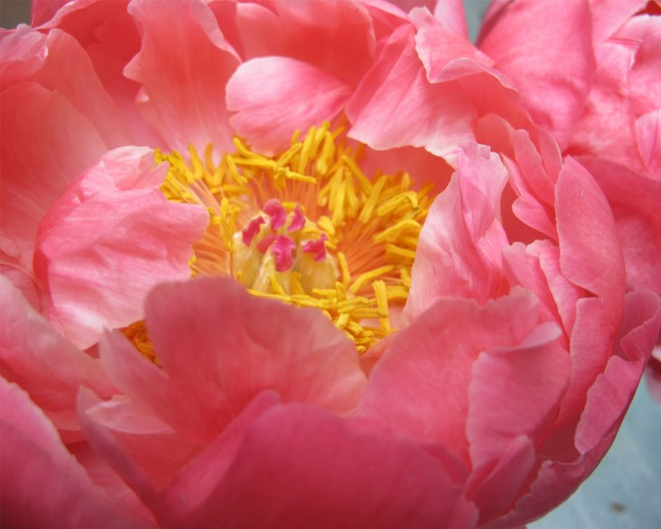 We've enjoyed all spring flowers, especially coral charm peonies.