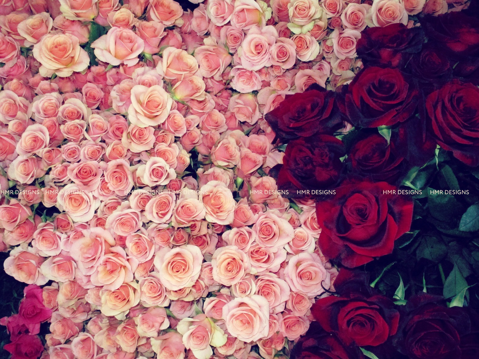 Rows of roses.