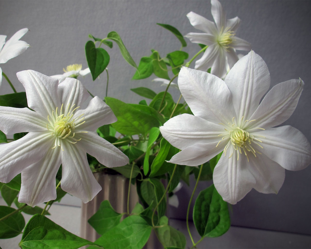 white clematis flowers at HMR Designs